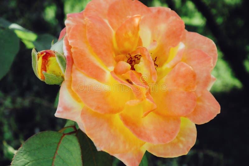 Floribunda steg växten ro för foto för härlig bokehträdgårdlampa naturliga royaltyfria bilder