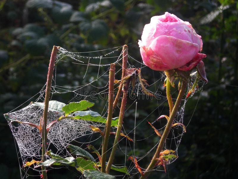 Floriculture, diseased bud of a pink rose entangled with cobwebs on a blurred natural background of a garden vegetable garden. Spider mite, wilting, autumn stock photos