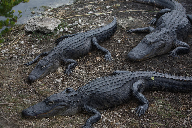Florida& x27; аллигатор s стоковое фото