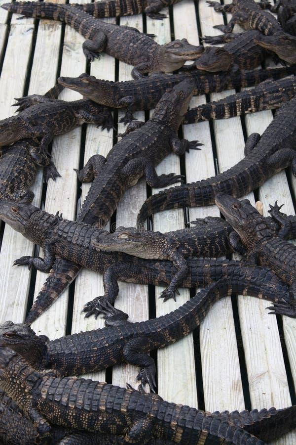 Florida Aligators stock photos
