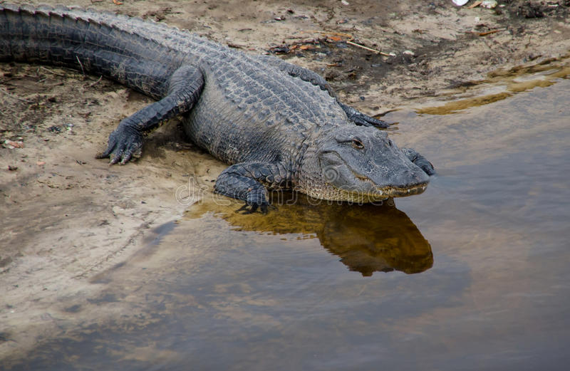 Florida alligator arkivbild