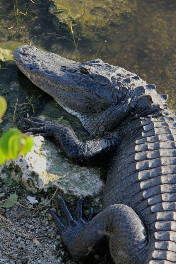 Florida Alligator stock photos
