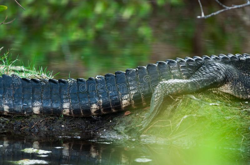 Lazy Alligator Afternoon stock images