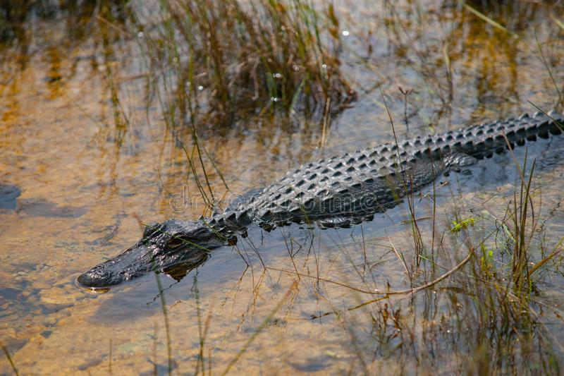 Florida alligator swimming  in the marshes. Swimming alligator in the marshes among reeds in shallows royalty free stock photos