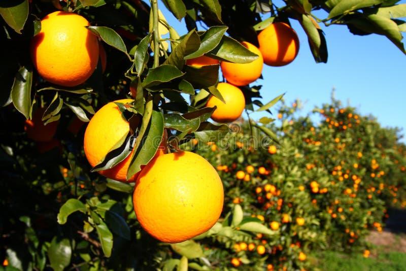 florida apelsiner arkivbilder