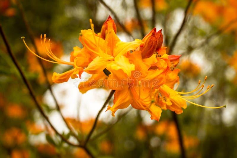 Florida azaleor (rhododendron Austrinum) blommar att blomma arkivbilder