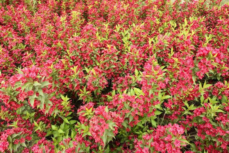 florida blommar weigelaen royaltyfria bilder