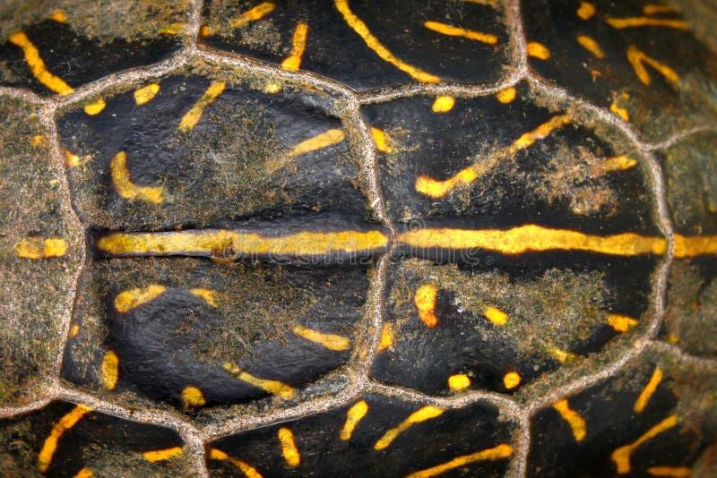 Florida box Turtle Shell Pattern. Shell patterns of a Florida box turtle (Terrapene carolina bauri) from Everglades National Park royalty free stock images