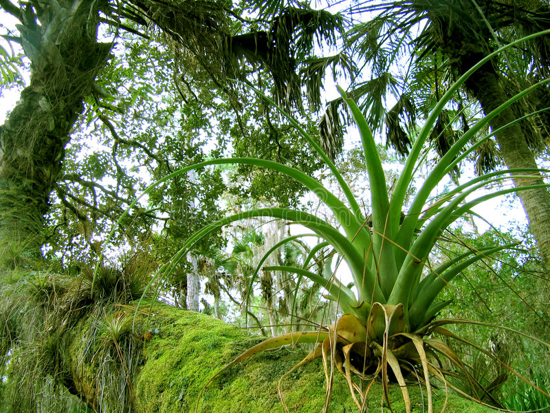 Florida bromeliad. (air plant) growing on fallen palm royalty free stock image
