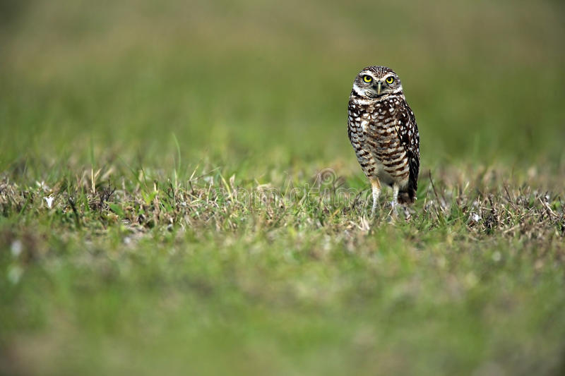 Florida Burrowing Owl. Burrowing Owl in Cape Coral, Florida stock photography