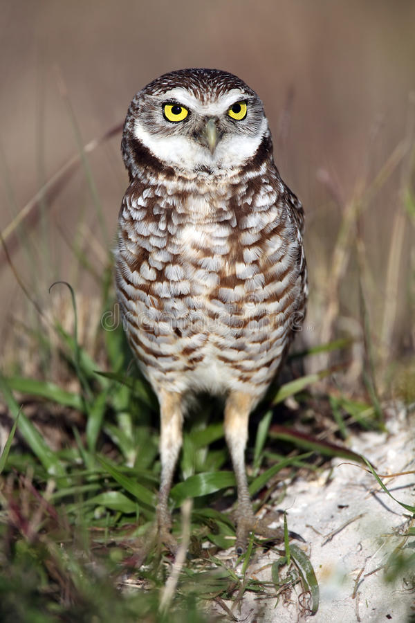 Florida Burrowing Owl. Closeup of a Burrowing Owl in Cape Coral, Florida royalty free stock photo