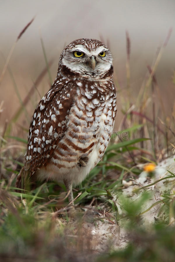 Download Florida Burrowing Owl Royalty Free Stock Photography - Image: 16712157