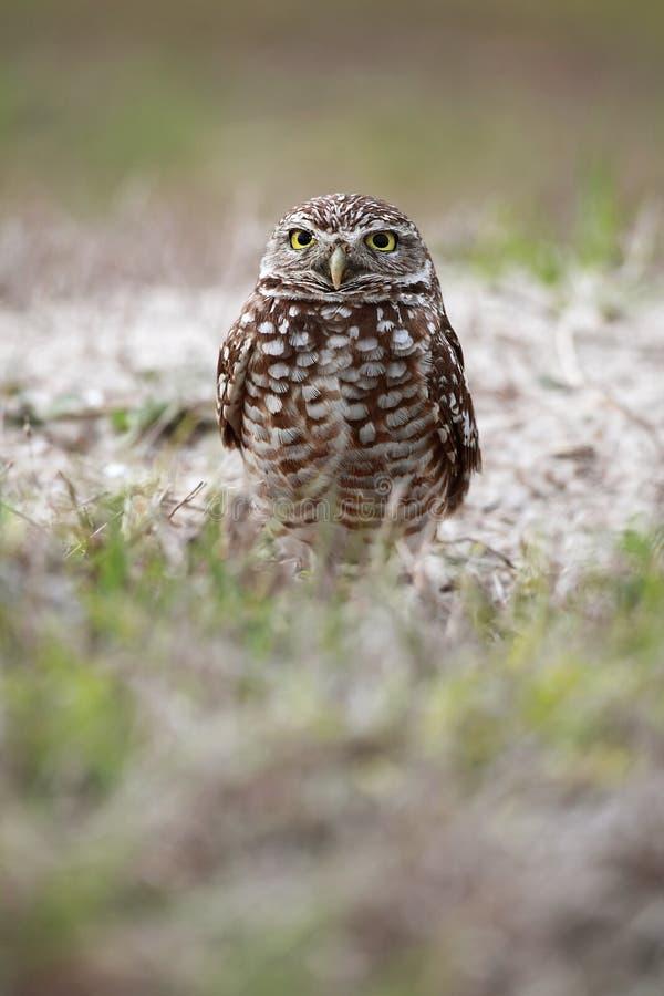 Florida Burrowing Owl royalty free stock image