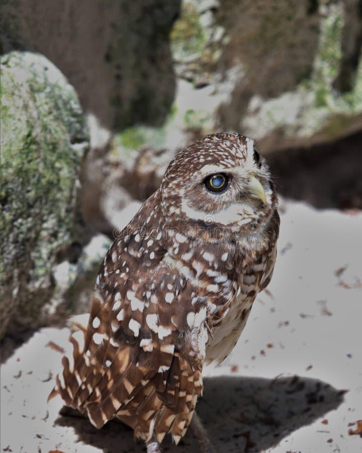 Florida Burrowing owl stock photo