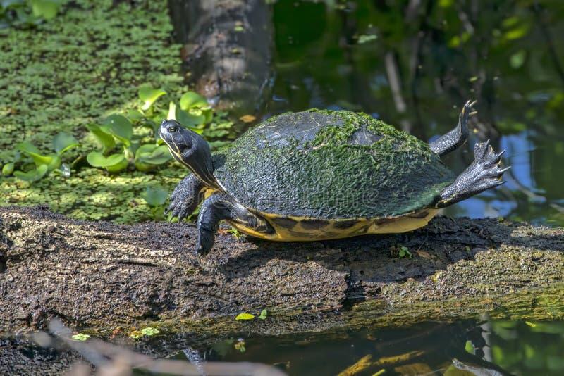 Florida Chicken Turtle Sunning On A Tree Limb stock images
