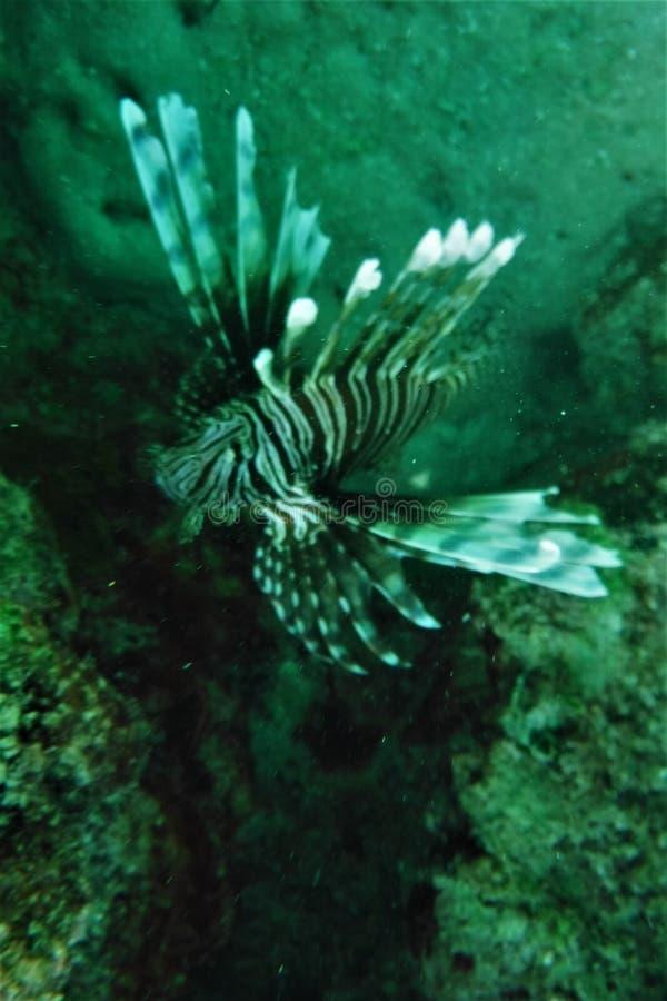 Florida chiude a chiave il LionFish Coral Reef immagini stock