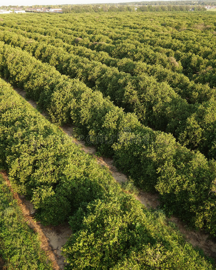 Florida citrusjordbruk royaltyfri fotografi