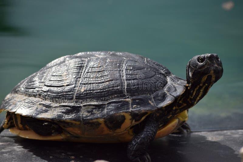 Florida-Cooter Pseudemys floridana bei Ocala, Florida lizenzfreie stockbilder