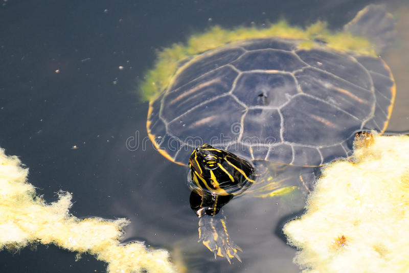 Download Florida Turtle stock photo. Image of animals, blooded - 21367860
