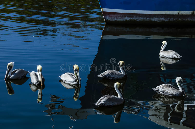 Florida di Tarpon Springs di sette pellicani immagini stock