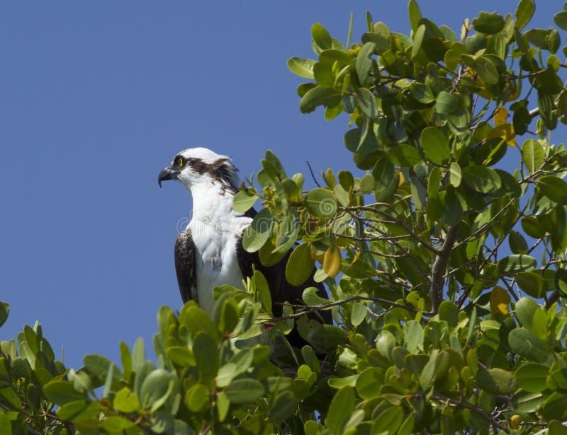 Florida-Fischadler lizenzfreie stockbilder