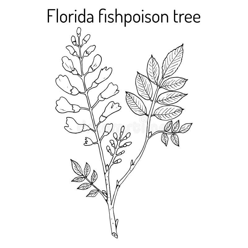 Florida fishpoisonträd, eller jamaikansk skogskornell eller fishfuddlePiscidiapiscipula, tropiskt träd royaltyfri illustrationer