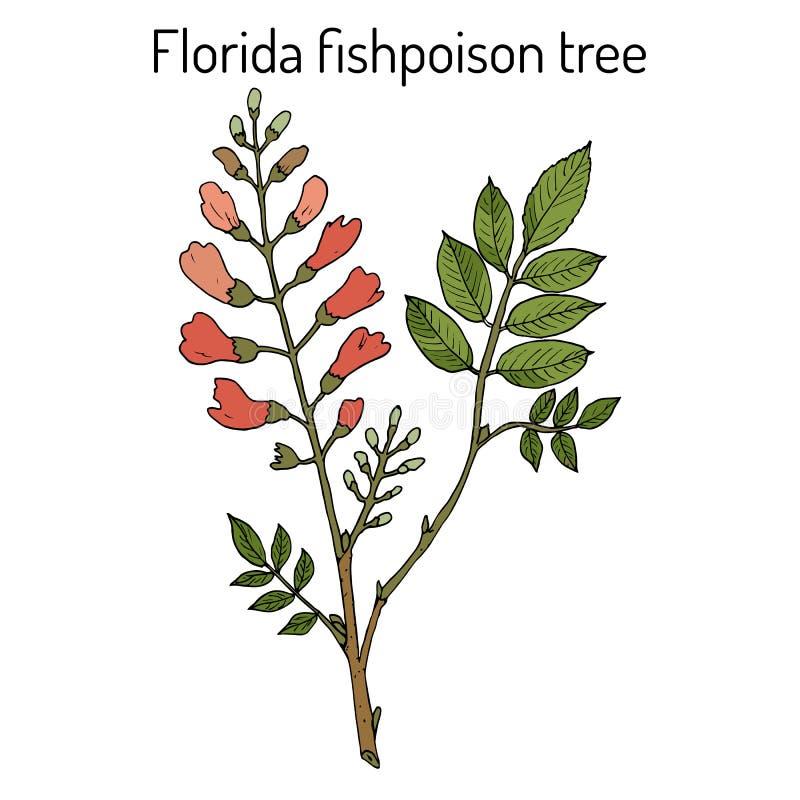 Florida fishpoisonträd, eller jamaikansk skogskornell eller fishfuddlePiscidiapiscipula, tropiskt träd vektor illustrationer