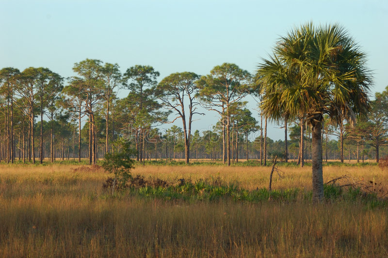 Florida Flatwoods royalty free stock photo