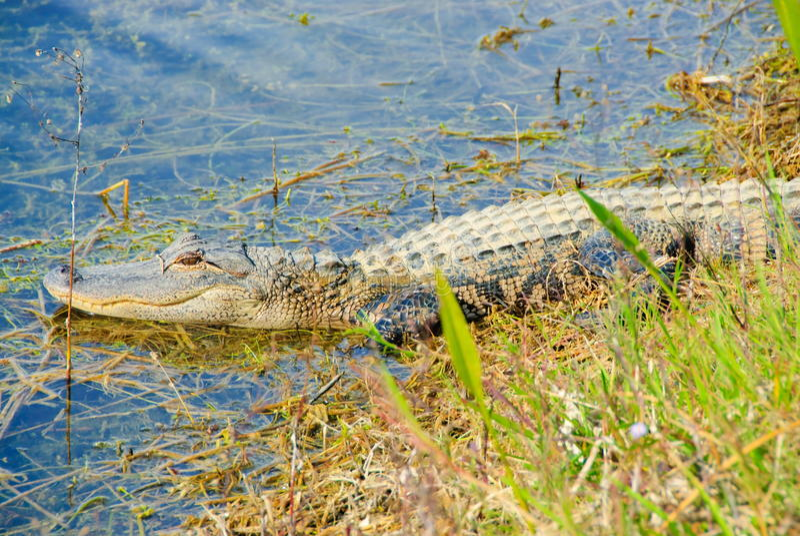Florida gator. Enjoy hot and sunny day stock photos
