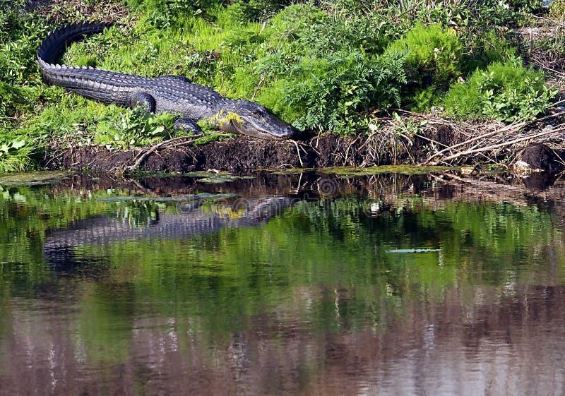 Florida gator royalty free stock photos