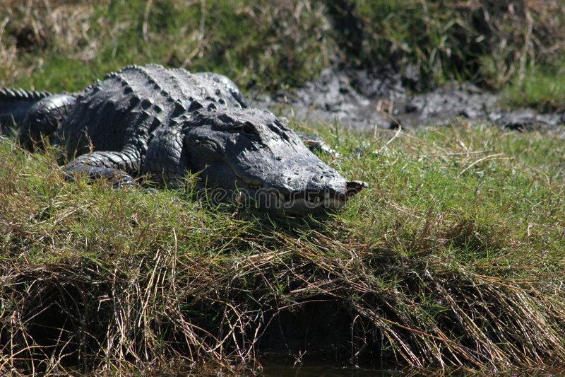 Florida Gator stockfotografie