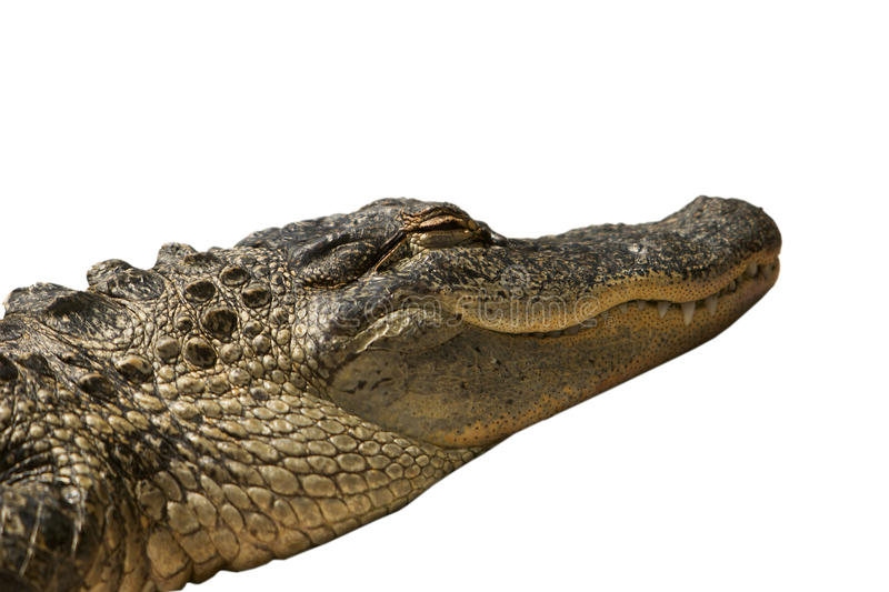 Florida Gator Isolated. A Florida alligator that was dozing with its eyes closed in the sun. This gator has been isolated to a white background stock images