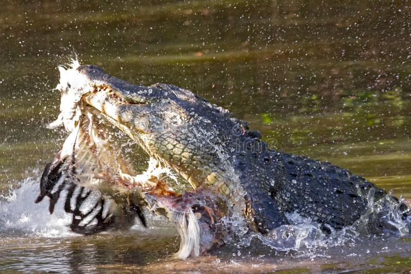 Florida Gator with a bird in its mouth. Florida gators captured with the remains of its prey in its jaws royalty free stock photography