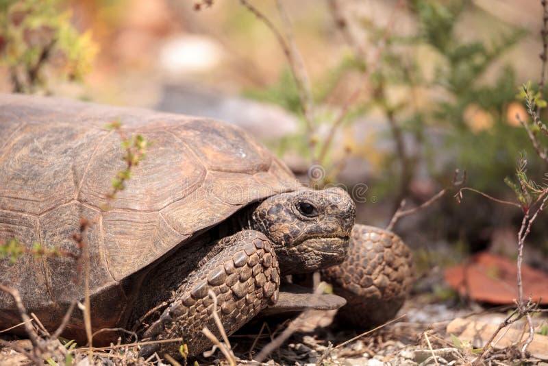 Florida-Gopher-Schildkröte Gopherus polyphemus stockfotografie