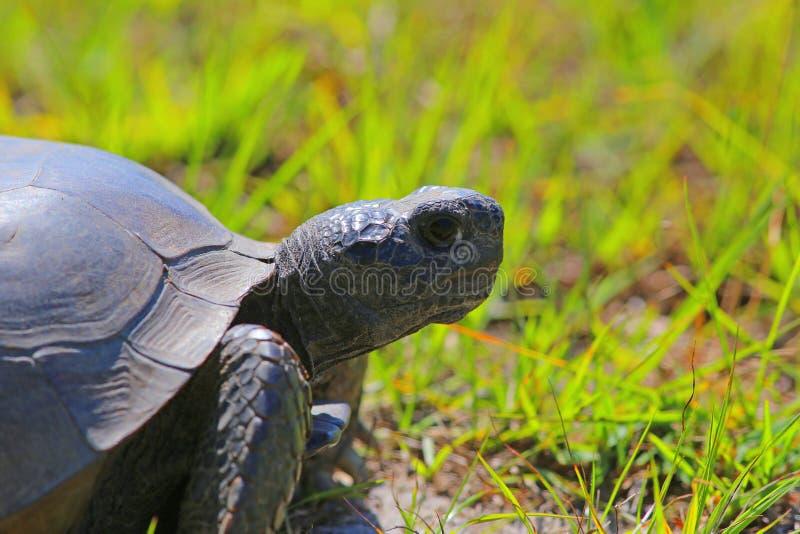 Florida gopher tortoise. Close up stock images