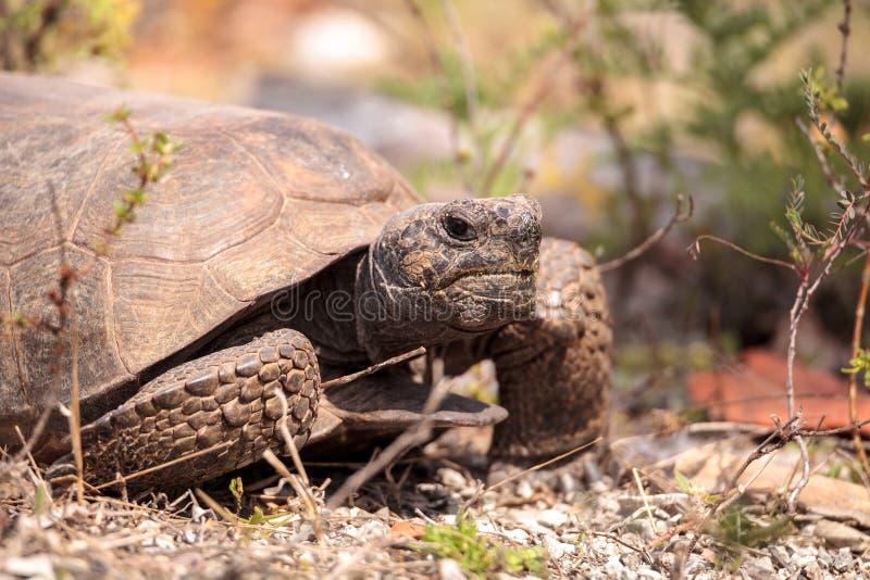 Florida Gopher Tortoise Gopherus polyphemus. Forages for food in the grass on Bonita Springs, Florida stock photos