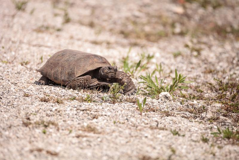 Florida Gopher Tortoise Gopherus polyphemus. Forages for food in the grass on Bonita Springs, Florida royalty free stock photography