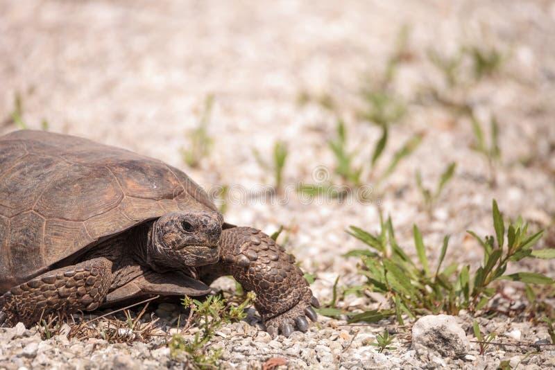 Florida Gopher Tortoise Gopherus polyphemus. Forages for food in the grass on Bonita Springs, Florida stock images