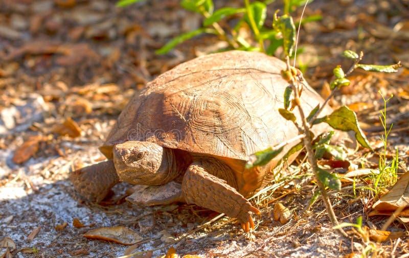 A florida gopher tortoise. Walking in the sun stock photos