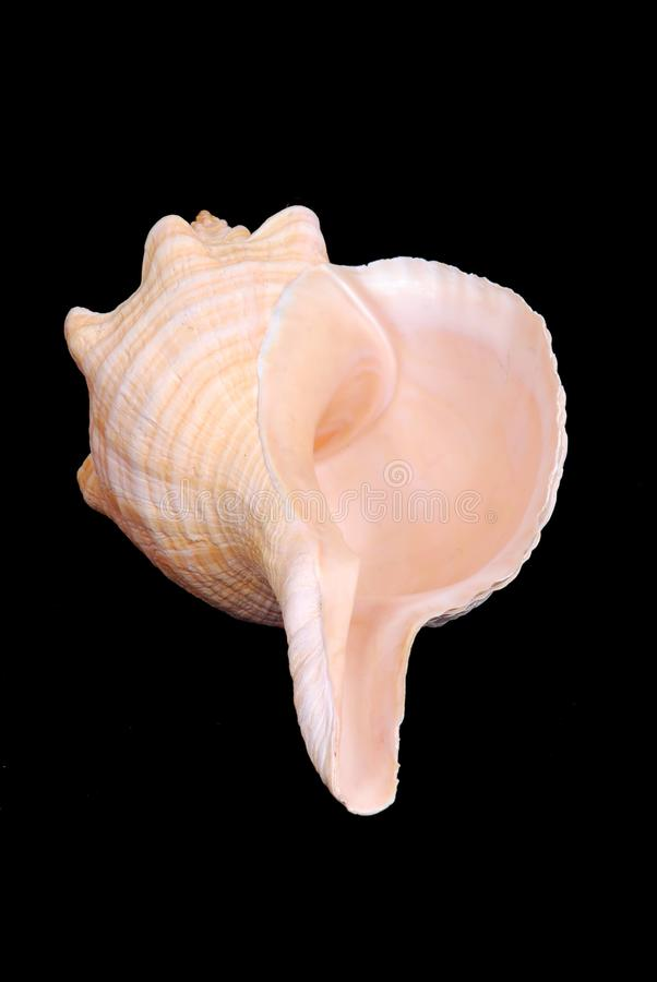 Download Florida Horse Conch Seashell Stock Image - Image: 18846599