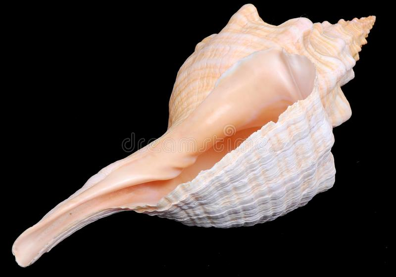 Download Florida Horse Conch Seashell Stock Image - Image: 18846673
