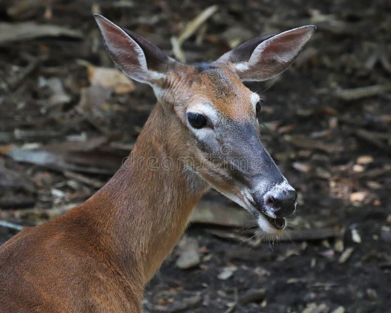 Florida Key deer profile. The Florida key deer is an endangered species of deer that only live in the Florida Keys. It is a sub species of the white-tailed deer stock image