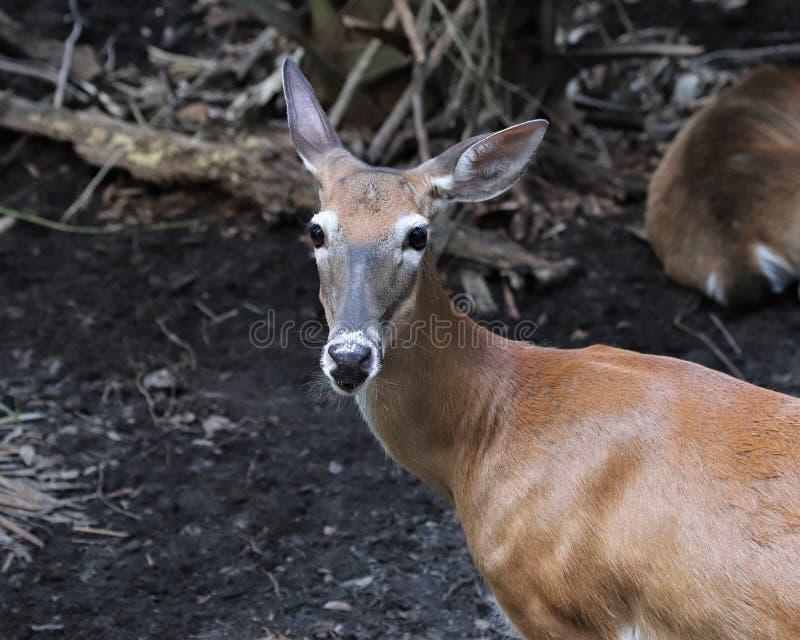 Florida key deer standing. In Homosassa Springs state wildlife park stock photo