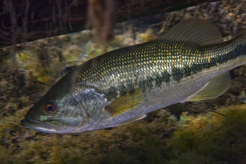 Florida Largemouth Bass - Hiding Under Log. A Florida Largemouth Bass, Micropterus salmoides, hiding under a tree limb fallen into the clear 69 degree stock photos
