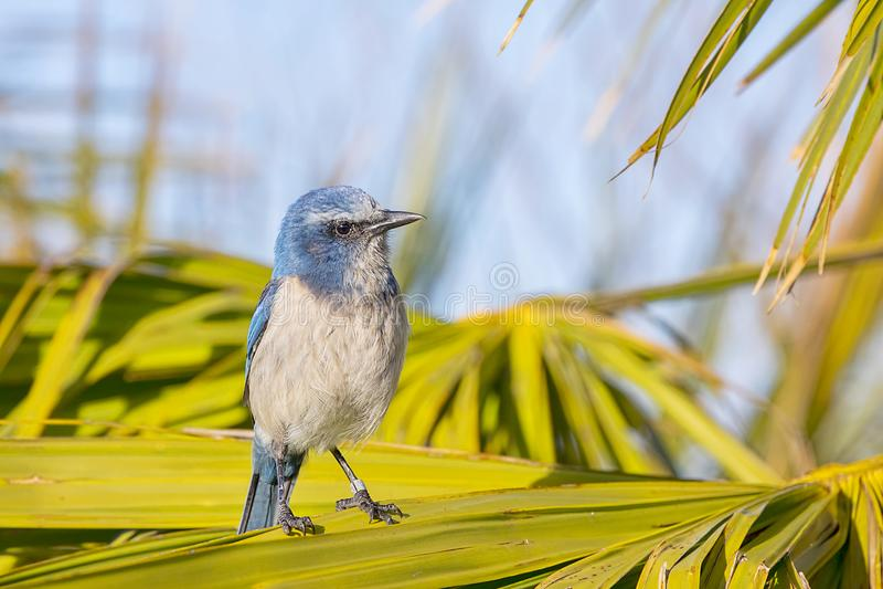 Download Florida legata sfrega Jay fotografia stock. Immagine di protetto - 117980720