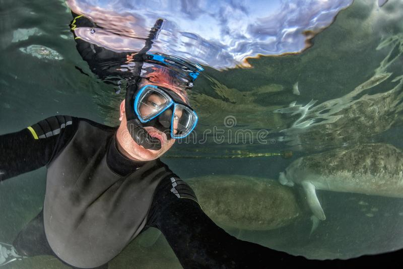Florida manatee close up portrait approaching snorkelist. Snorkeling with manatee close up portrait underwater in crystal river stock photo
