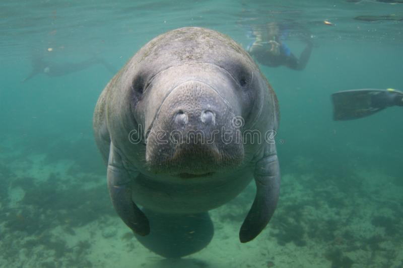 Florida Manatee Underwater with Snorkelers. Endangered Florida Manatee Underwater with Snorkelers in Background stock images