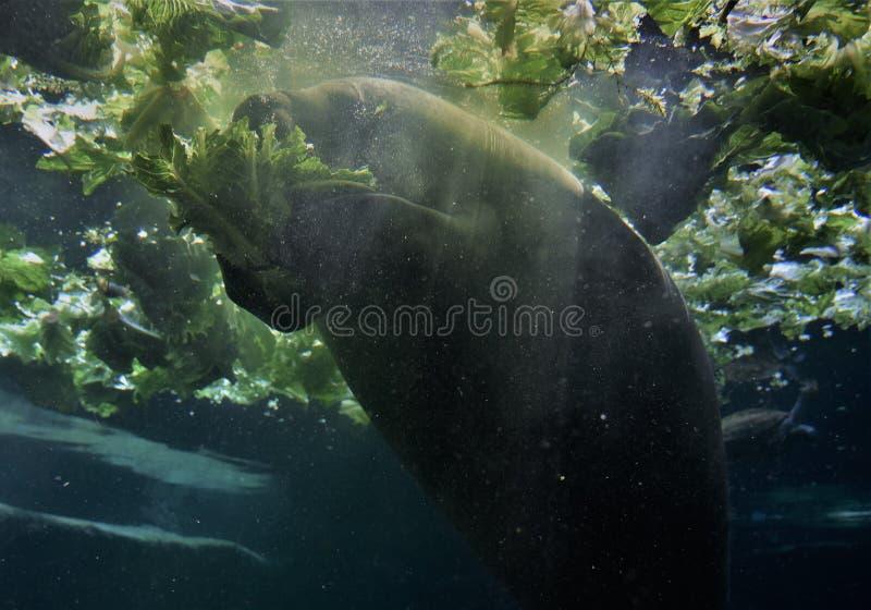 Florida-Manatis schwimmt neben vielen Kopfsalatköpfen und -c$essen lizenzfreie stockfotografie