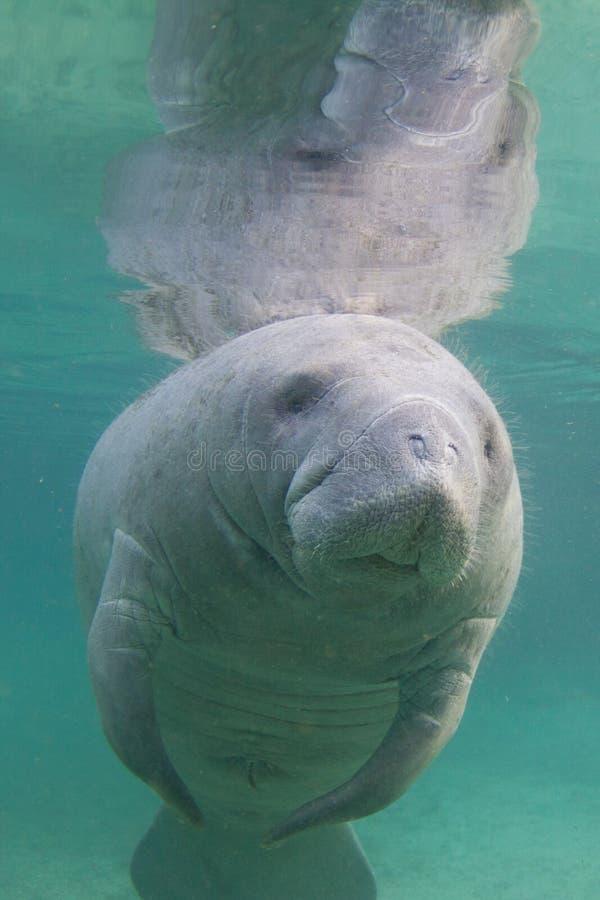 Florida-Manatis Unterwasser lizenzfreies stockbild