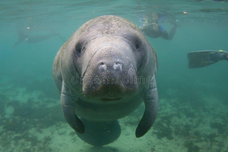 Florida-Manatis Unterwasser mit Snorkelers stockbilder